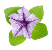 Violet flower of petunia with green leaves isolated on white background Royalty Free Stock Photo