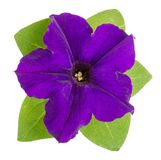 Violet flower of petunia with green leaves isolated on white background Stock Photography