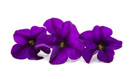 Violet flower of petunia isolated Stock Image