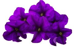 Violet flower of petunia isolated Royalty Free Stock Photo