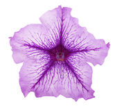 Violet flower of petunia isolated on white background Royalty Free Stock Image