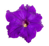Violet flower of petunia isolated on white background Stock Photos