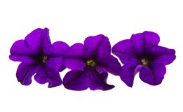 Violet flower of petunia isolated Stock Images