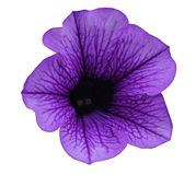 Violet flower Petunia on a white isolated background with clipping path  no shadows. Closeup. For design, texture, borders, frame,. Background.  Nature Stock Photos