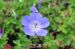 The violet flower. The plant is known as Banafsa, Banafsha or Banaksa in India. V. odorata is native to Europe and Asia, but has also been introduced to North royalty free stock photos