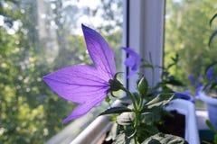 Violet flower of Platycodon grandiflorus on sunlight. Balcony greening. Summer morning royalty free stock photo