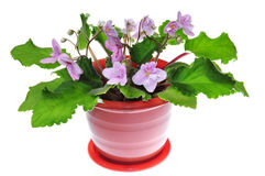 Violet flower in pot Stock Image