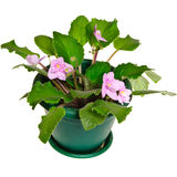 Violet flower in pot Royalty Free Stock Photo