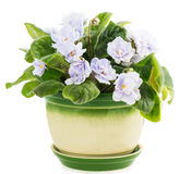 Violet flower pot Royalty Free Stock Images