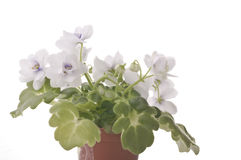 Violet flower in a pot Stock Image