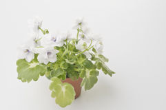 Violet flower in a pot Royalty Free Stock Photos