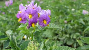 Violet flower of a potato. In a windy summer day. Green nature scene stock footage