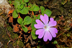 Violet flower on the rock (primula tirolensis) Stock Photography