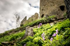 Violet flower with ruin. Of an old castle Royalty Free Stock Images