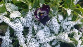 Violet flower in snow in a park close-up in winter Stock Images
