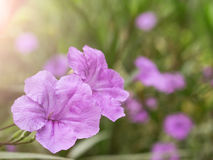 Violet flower spring time with sunlight Royalty Free Stock Image