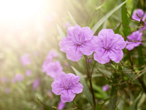 Violet flower spring time with sunlight Stock Image