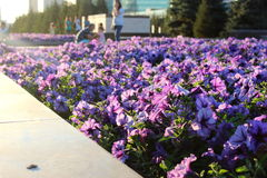 Violet flower in the sun. Superb violet flower in the sun in a park in Astana, Kazakhstan with blurry people in the background stock photography