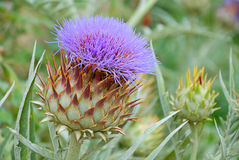 Violet flower of a thistle Stock Photography