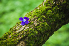 Violet flower on the tree bark Royalty Free Stock Photo