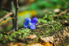 Violet flower on the tree bark Royalty Free Stock Photography