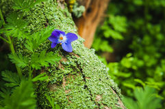 Violet flower on the tree bark Royalty Free Stock Image