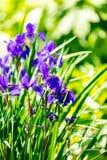 Violet flower tree in garden on sunshine Royalty Free Stock Photos