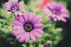 Violet flower. Vintage color of Violet Senecio flower with water drop on segment Stock Photos
