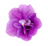 Violet flower on a white background Stock Images
