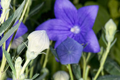 Violet flower white pistil Royalty Free Stock Photo