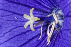 Violet flower white pistil Stock Photo