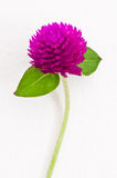 Violet flower on white wall Royalty Free Stock Photography