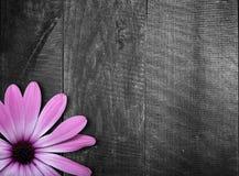 Violet flower on wooden background Stock Images