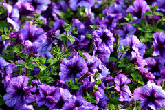 Violet floweres Royalty Free Stock Photo