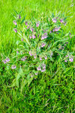 Violet flowering common comfrey plant from close Stock Photos