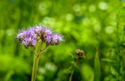 Violet flowering Lacy phacelia from close Stock Image
