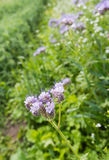 Violet flowering Lacy Phacelia. Closeup of a purple blooming Purple Tansy or Phacelia tanacetifolia plant on a sunny day in the early summer season Stock Image