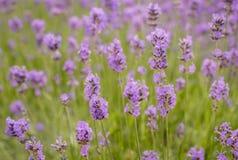 Violet flowering Lavender Stock Photo
