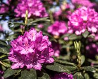 Violet-flowering rhododendron, front flowering sharp, rear area intentionally blurred stock photos
