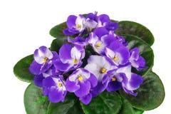 Violet in flowerpot Stock Photos