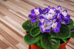 Violet in flowerpot Royalty Free Stock Photo
