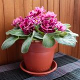Violet in a flowerpot royalty free stock photo