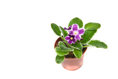 Violet in a flowerpot on a white. The african violet with bright green leaves in a pot Stock Photos
