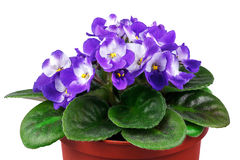 Violet in flowerpot on white Royalty Free Stock Image
