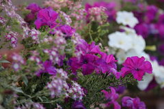 Free Violet Flowers Royalty Free Stock Images - 10956429