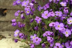 Violet flowers Stock Photos