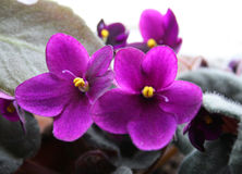 Violet flowers Stock Photography