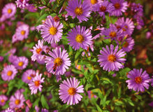 Violet flowers. Fresh wild mums – Chrysanthemum sp. – with red bug Stock Photo