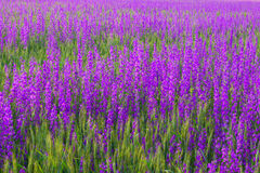 Violet flowers Royalty Free Stock Photos