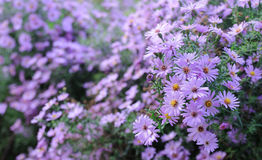 Violet flowers Stock Image